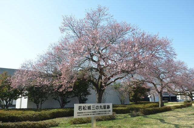 鶴ヶ城の桜02_0401
