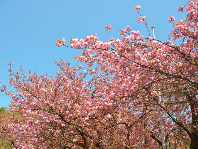 東鳳駐車場の八重桜