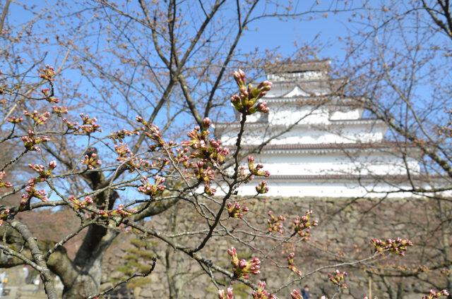 鶴ヶ城の桜03_0401